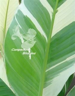 Picture of white leaves on variegated plants as seen on the canna Stuttgart