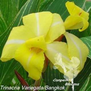 Canna Trinaciria Variegata this plants also known as canna Bangkok, it has a variegated leaf with a striped cross through its flowers