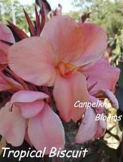Canna Tropical Biscuit