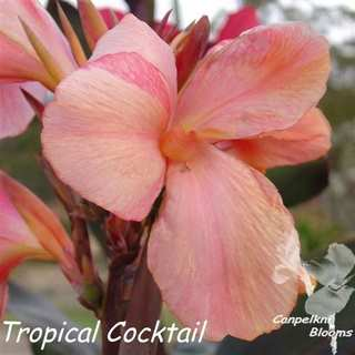 canna Tropical Cocktail
