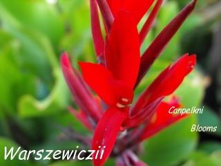 Warszewiczii is a species canna