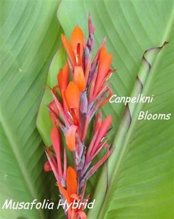 The Musafolia hybrid cannas are tough and dry tolerant garden plants