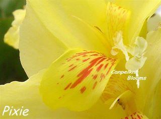 Beautiful shorter yellow flowering canna Pixie