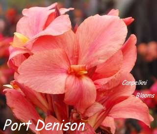 New Cannas in Australia Port Denison