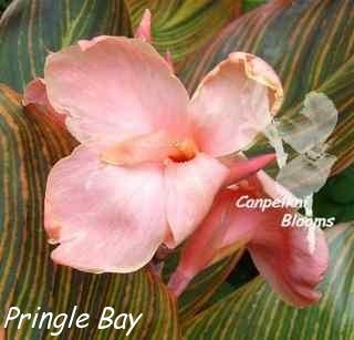 canna Pringle Bay