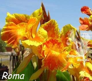 Old garden plants Canna Roma