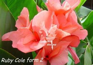 Picture of other garden plants also called Ruby Cole