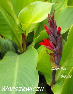 pictures of tropical species canna