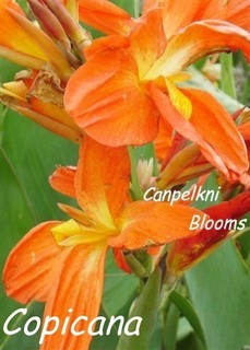 garden cannas Copicana with orange flowers