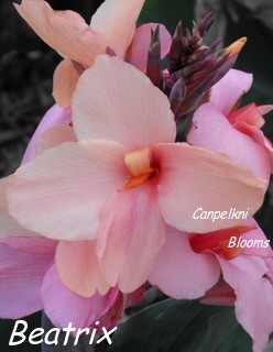 Beautiful exotic plants like canna Beatrix