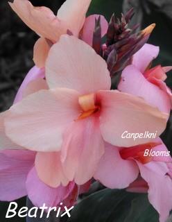 Canna Beatrix