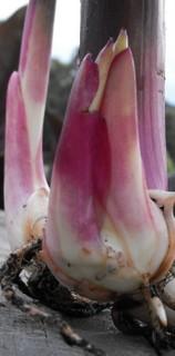 flower bulbs online canna Intrigue
