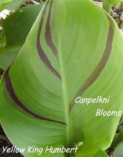 pictures of variegated Leaves on Yellow King Humbert canna