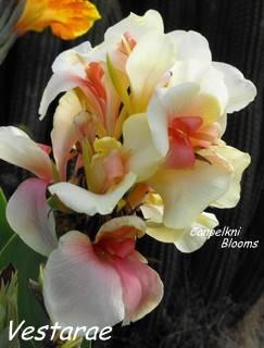 Canna garden plants flowering in Australia