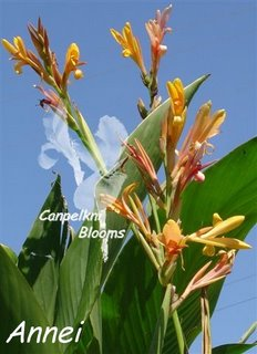 Cannas such as Annei can grow really tall