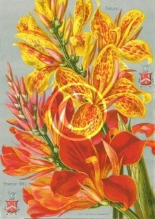 Picture of a two New Cannas from John Lewis Childs New, Rare and Beautiful Flower Seed Catalogue of 1891.