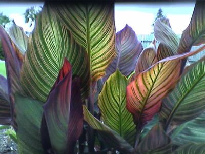 My Canna 'Tropicanna' Screen!