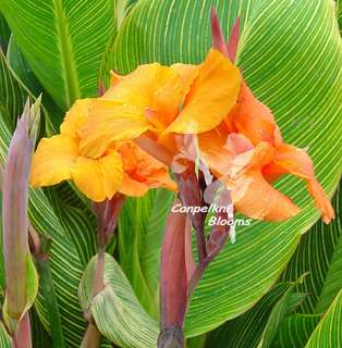 picture of variegated orange flowering canna plant