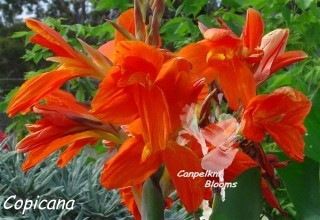 Pictures of garden flowers of canna Copicana