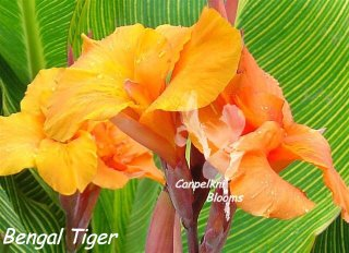 variegated garden canna Bengal Tiger