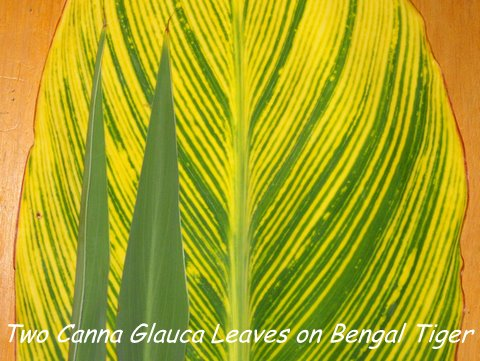 Picture comparison of Glauca leaves on Bengal Tiger canna Leaf
