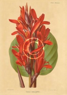 Picture of canna Rotundifolia.