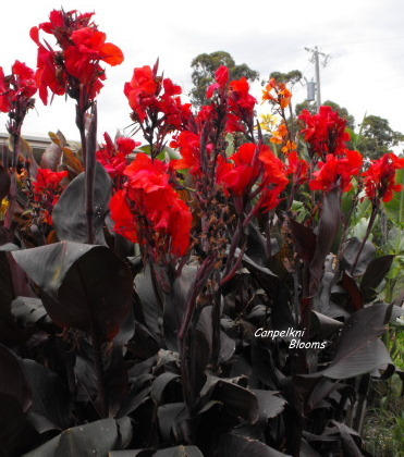 Black coloured leaf cannas on trial