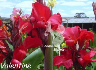 Garden picture of cerise flowering canna Valentine