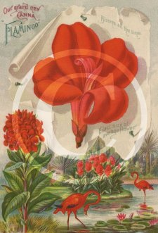Picture of canna Flamingo raised in 1895.