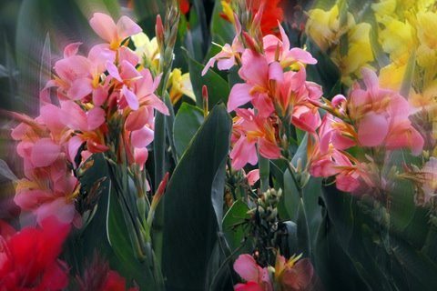 Summer flowering garden cannas