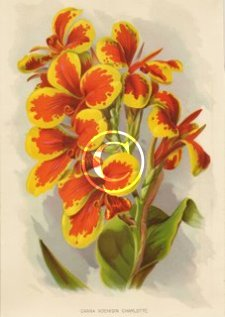 Popular and still reliable Koenigin Charlotte canna a beautiful enhanced picture print from 1910.