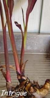 picture of canna rhizomes