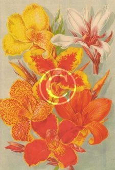 Colourful picture of mixed canna plants from the early Victorian days.