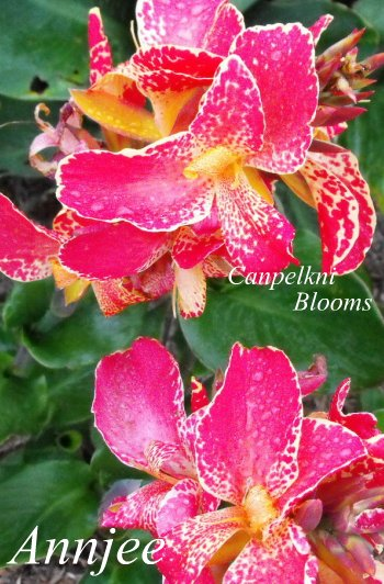 canna Annjee with tropical pink garden flowers