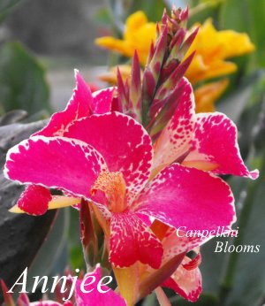 canna Annjee from Australia with tropical pink flowers