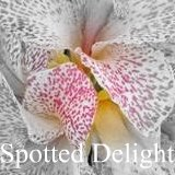 Read about canna Spotted Delight