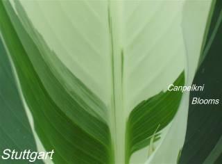 picture of foliage plant canna stuttgart