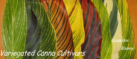 Variegated plant leaves of different cannas