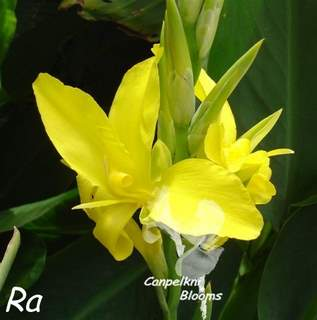 Photo of Aquatic canna Ra that can be grown in ponds and wet bog areas