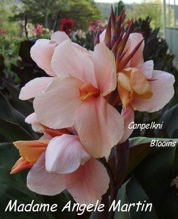 picture of canna lily Madame Angele Martin