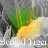 All about canna Bengal Tiger