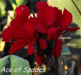 canna ace of spades