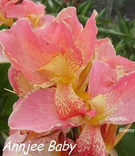 The paler pink flowering Annjee Baby