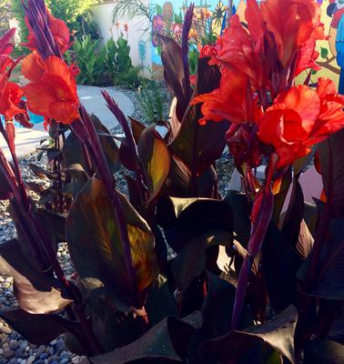 My backyard favorite Canna Lily