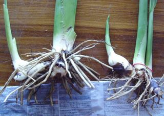 canna bulbs are called canna rhizomes