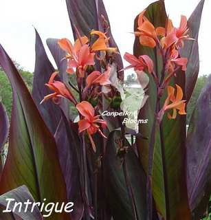 Canna Intrigue is a tall growing plant with long leaves