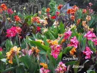 pictures of canna flower the garden tropical plants