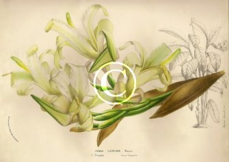 Rare white canna species Liliiflora flower prints for sale of this old world plant.