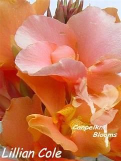 Beautiful garden flowers of Lillian Cole