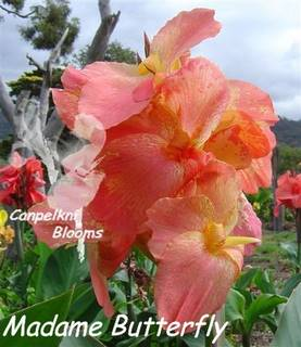 Big and beautiful garden flowers of Cannas Madame Butterfly